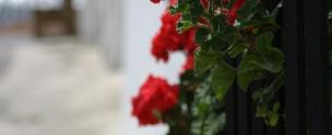 Andalusian Geraniums Genalgaucil Andalucia
