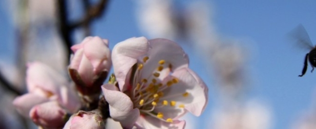 Bee Pollenating Almond Blossom Guaro Cortijo De Las Nieves Andrew Forbes Retrospective