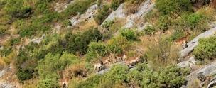 Herd Of Wild Goats Sierra De Las Nieves