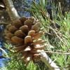 Sierra De Las Nieves Pine Cone Cropped