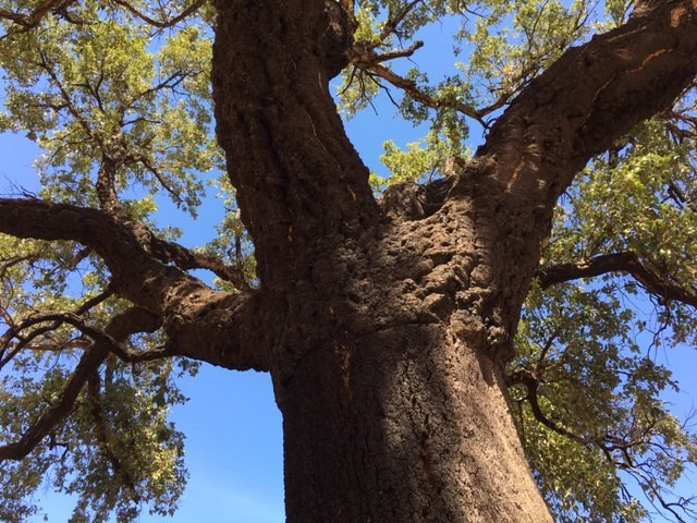Cork Oak recovering from wild fire