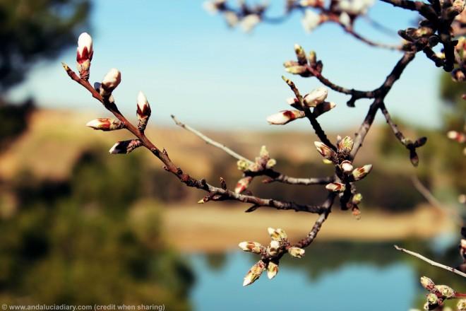Almond Blossom El Chorro Malaga