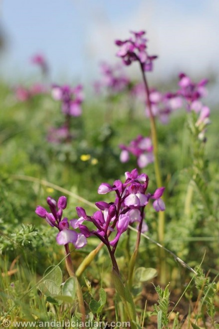 Andalusian Orchids Cortijo de las Nieves (3)