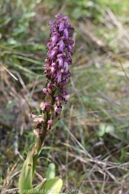 Andalusian Orchids Cortijo de las Nieves (4)