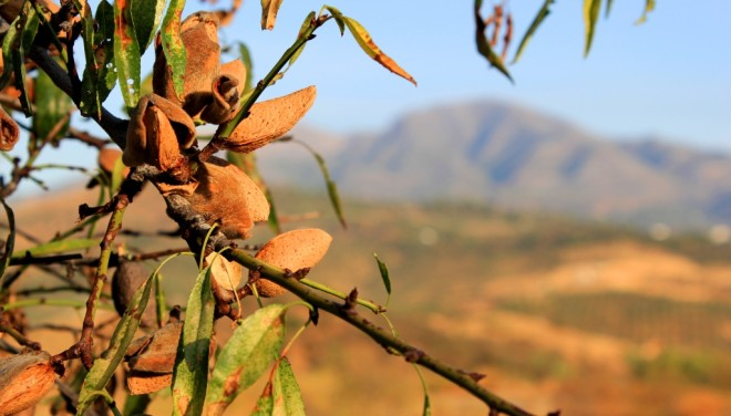 Andalusian almonds ready to harvest