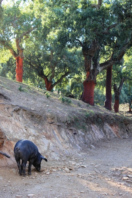 Black Iberico Pigs Huelva Andalucia Diary