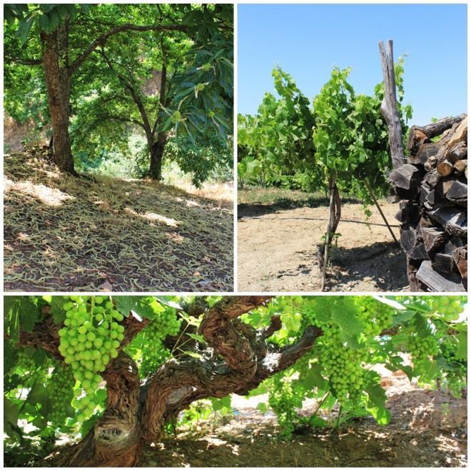 Chestnut woods and grapevines in Cartajima, Ronda