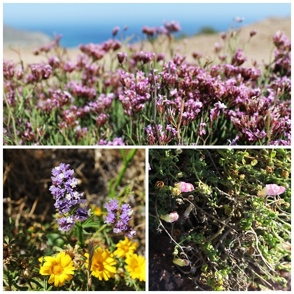 Dragoncillo del Cabo and other wild flowers almeria