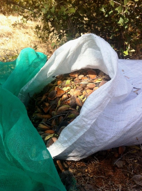Sack of freshly harvested almonds Andalucia