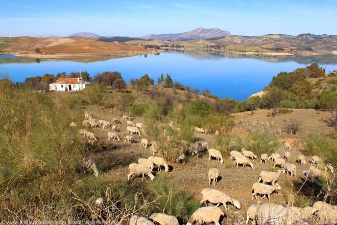 flock sheep el chorro malaga andalucia diary