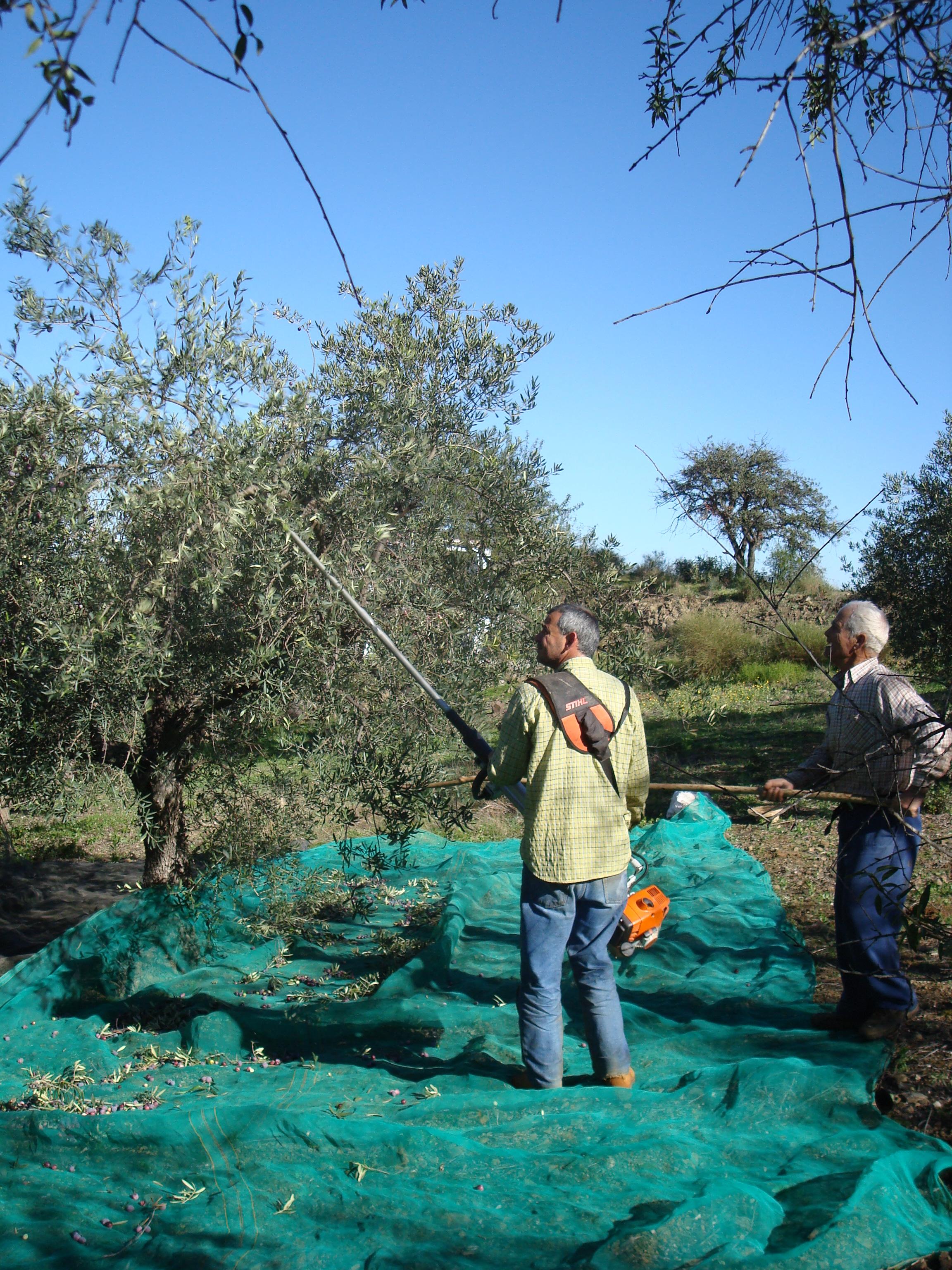 Harvesting olives in Guaro Viejo, November ww.andrewforbes.com