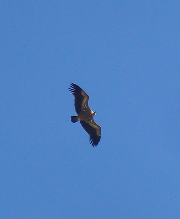Griffen Vulture gliding above Acinipo, Ronda