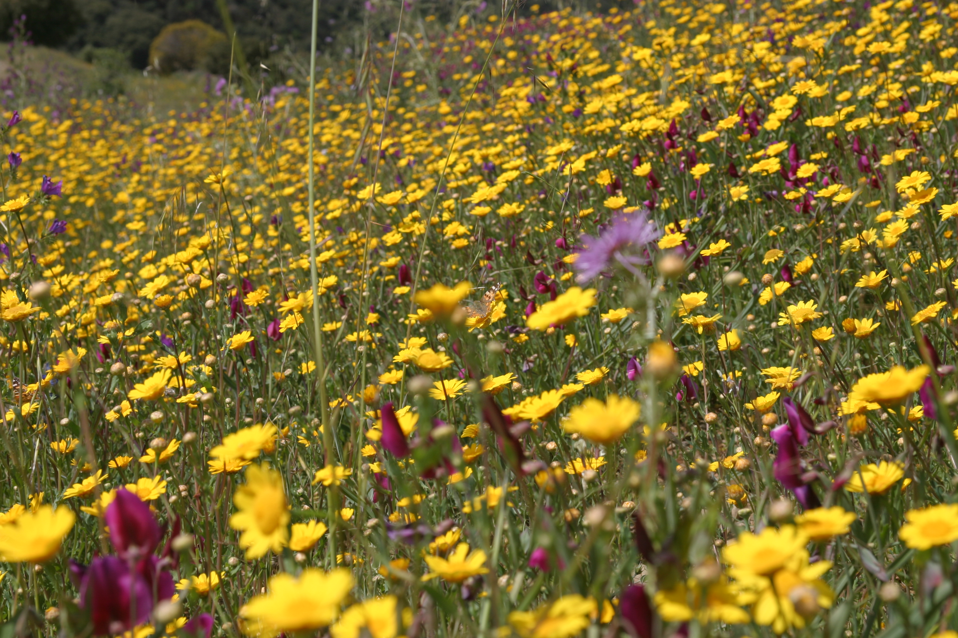 Wild flowers Monte Elviria