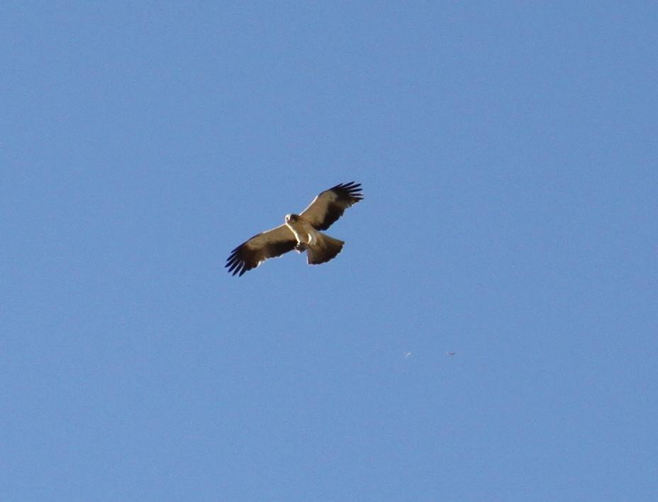 Morning eagle, la mairena, marbella, www.andrewforbes.com
