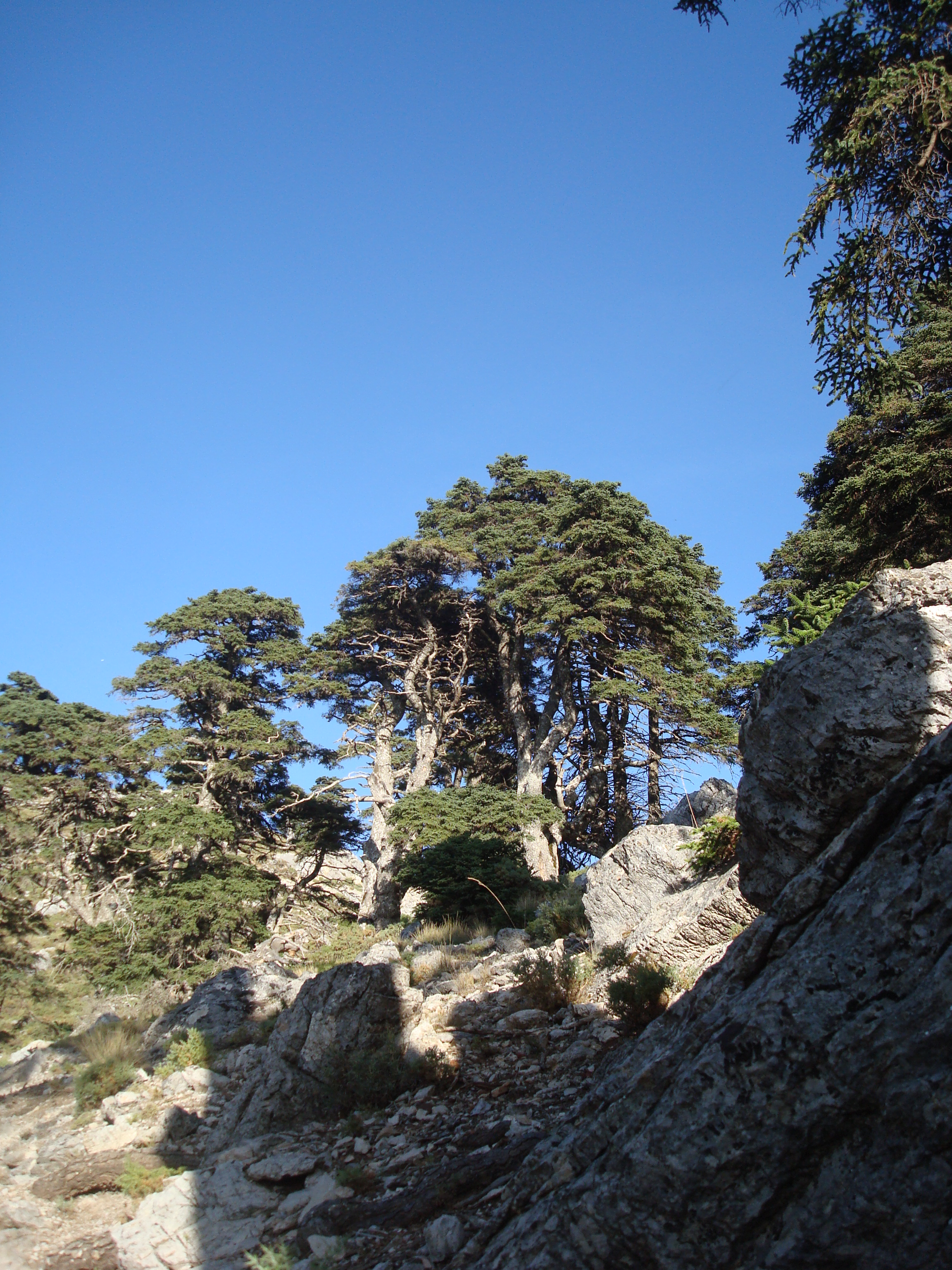 Ancient pine trees