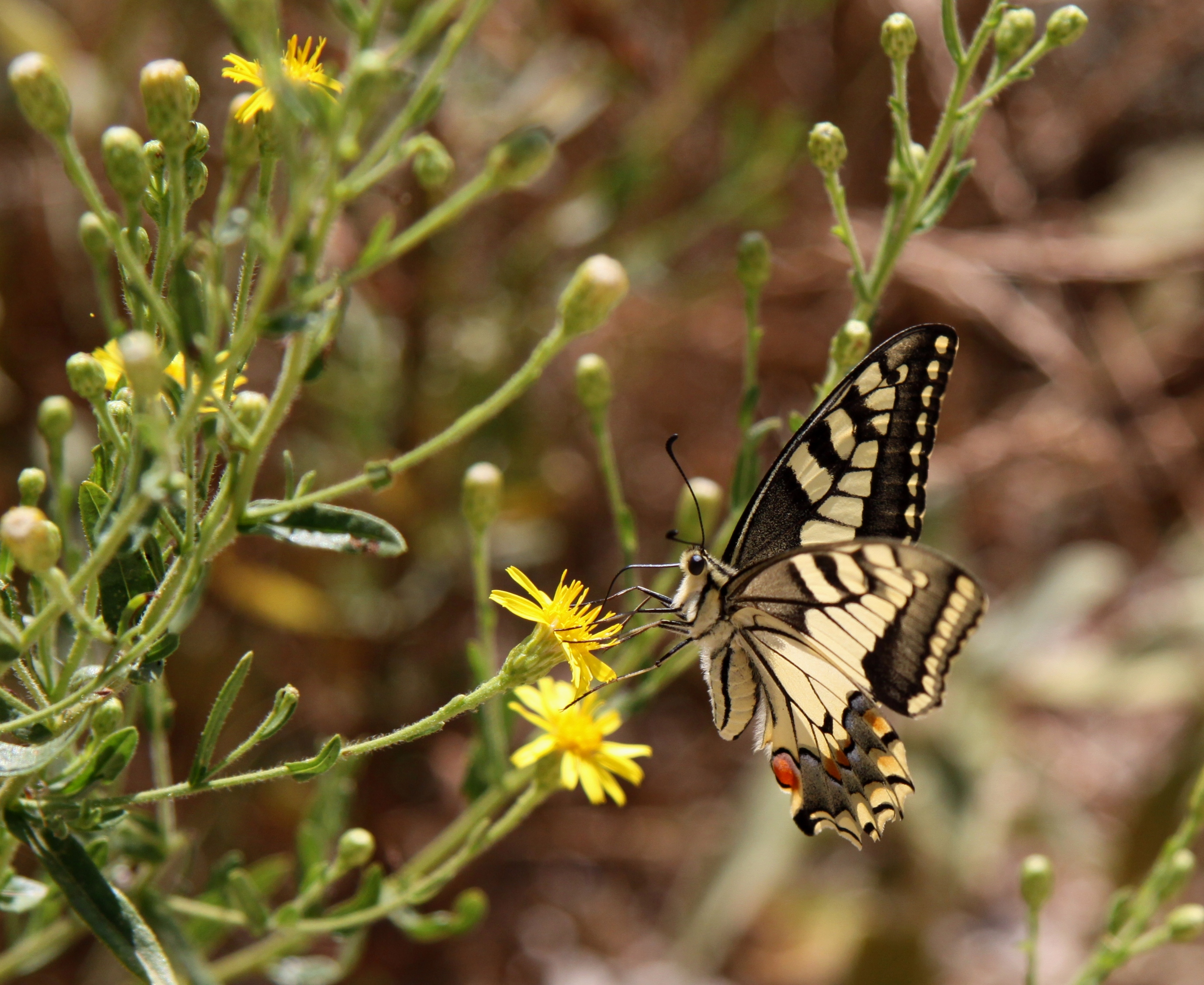 Sierra_de_las_nieves_natural_park_yunquera_hiking_senderismo_rutas_andrew_forbes_butterfly_mariposa