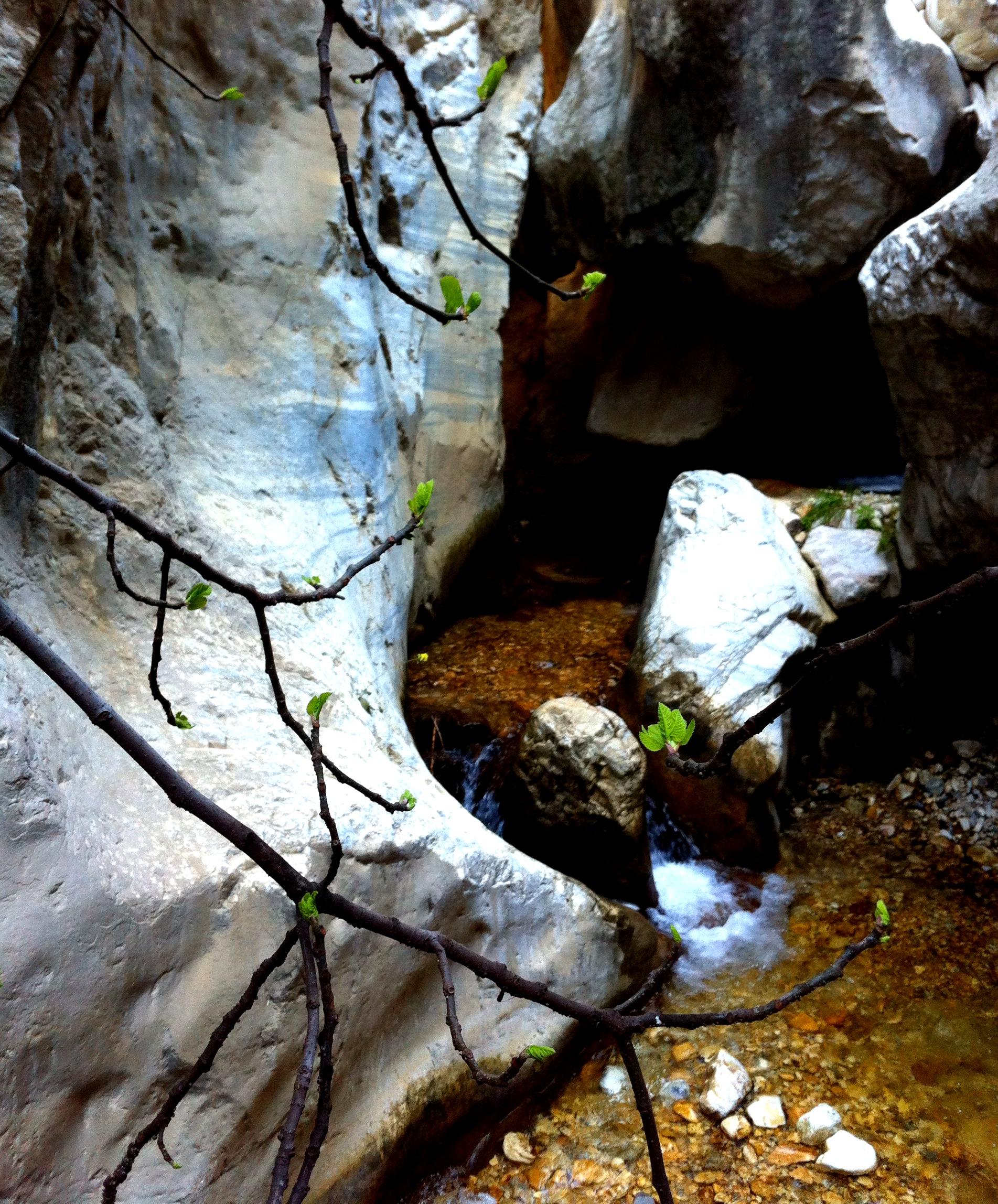 Rio Chillar, Nerja - budding fig tree
