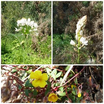 De Cotta Law St Patrick's Day Sponsored Walk Rio Chillar Frigiliana to Nerja wild flowers