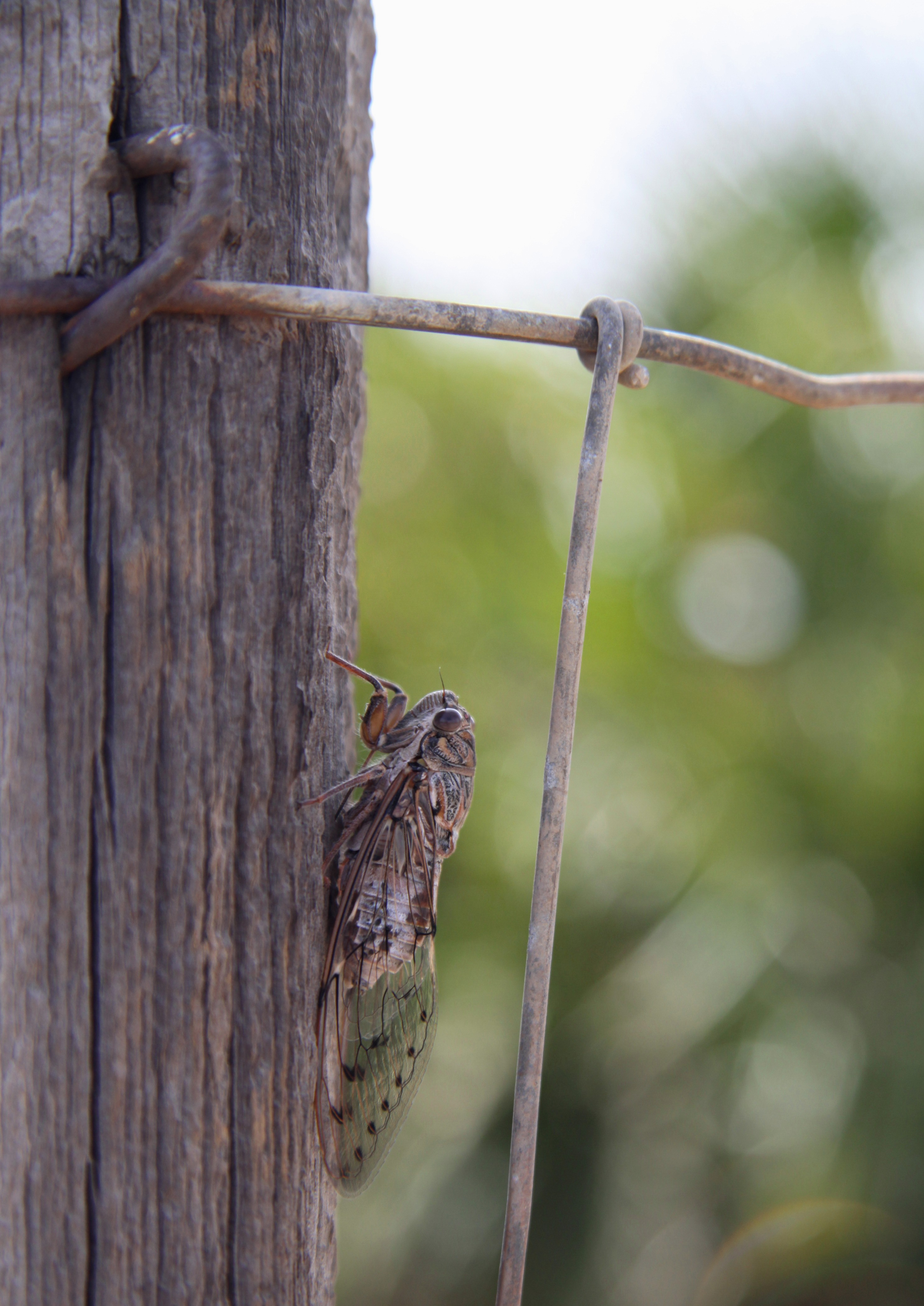 Cicada_analucia_andrew_forbes