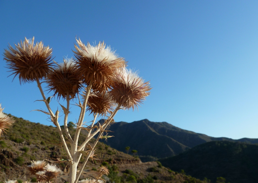 Dried Thistle Heads La Mairena Mountains Andrew Forbes