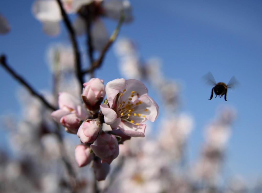 Bee_pollenating_almond_blossom_guaro_cortijo_de_las_nieves - andrew forbes - retrospective