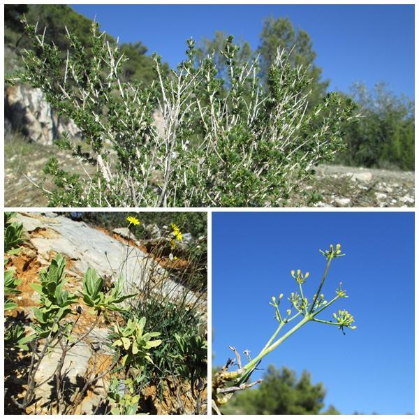 Mediterrenean Wild Aromatic Plants