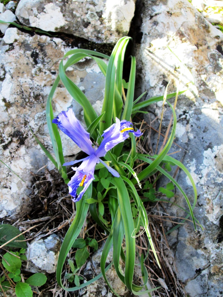Wide-Leaved Iris in limestone