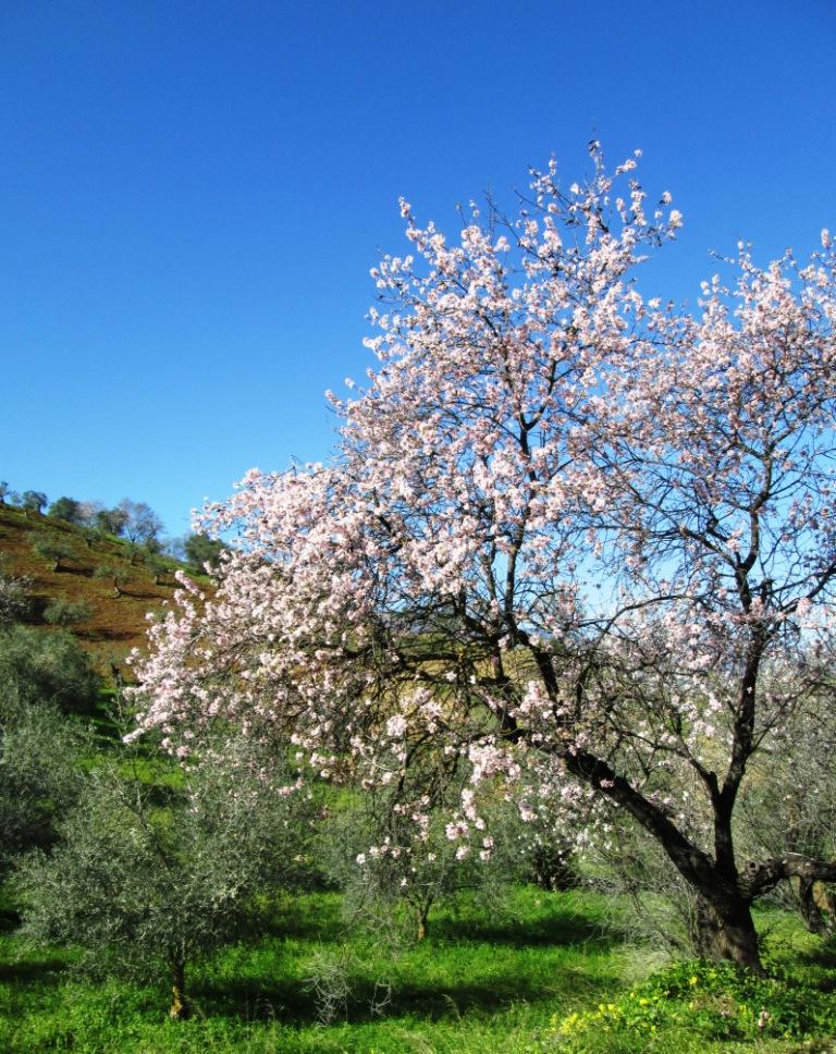 Almond blossom Guaro