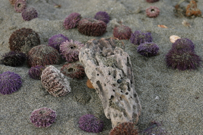 Mediterrean_sea_urchins