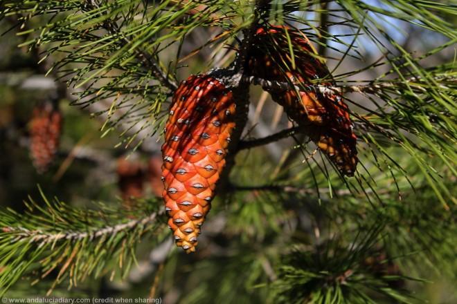 pine cones el chorro malaga andalucia diary